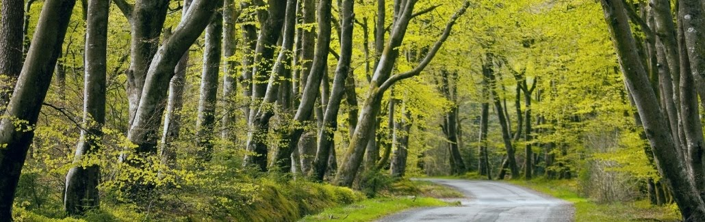 Beech trees at Lochenbreck